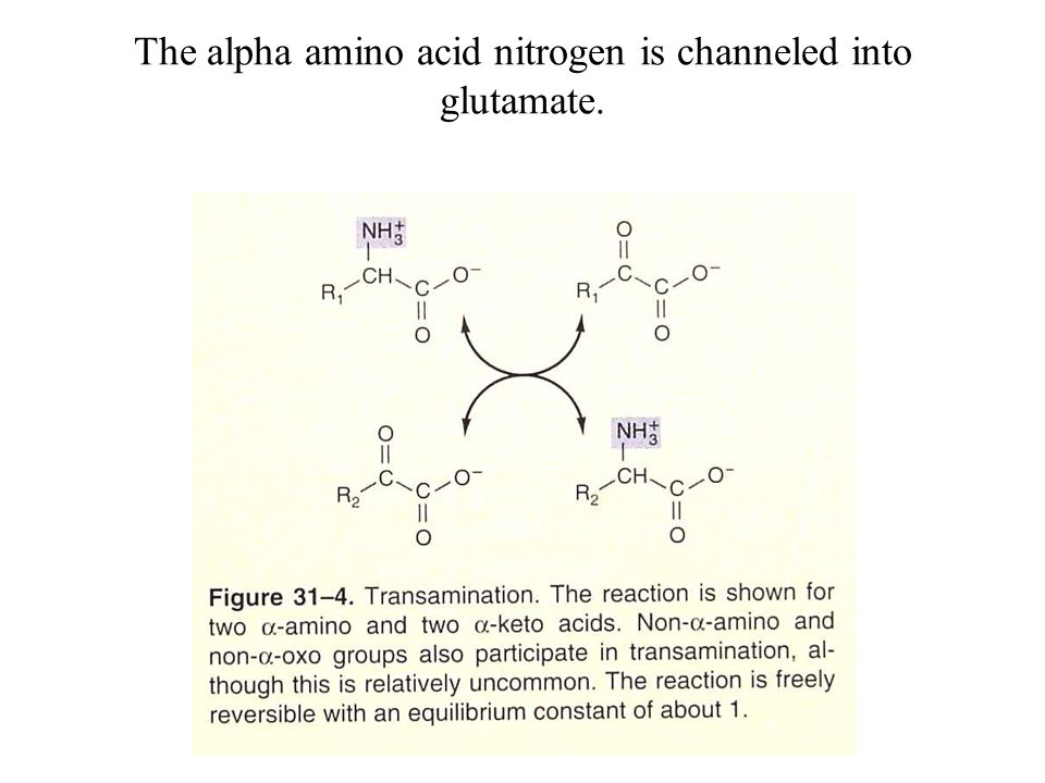 The alpha amino acid nitrogen is channeled into glutamate.
