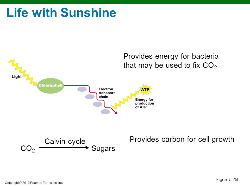Copyright © 2010 Pearson Education, Inc. Provides energy for bacteria that may be used to fix CO 2 CO 2 Sugars Provides carbon for cell growth Calvin