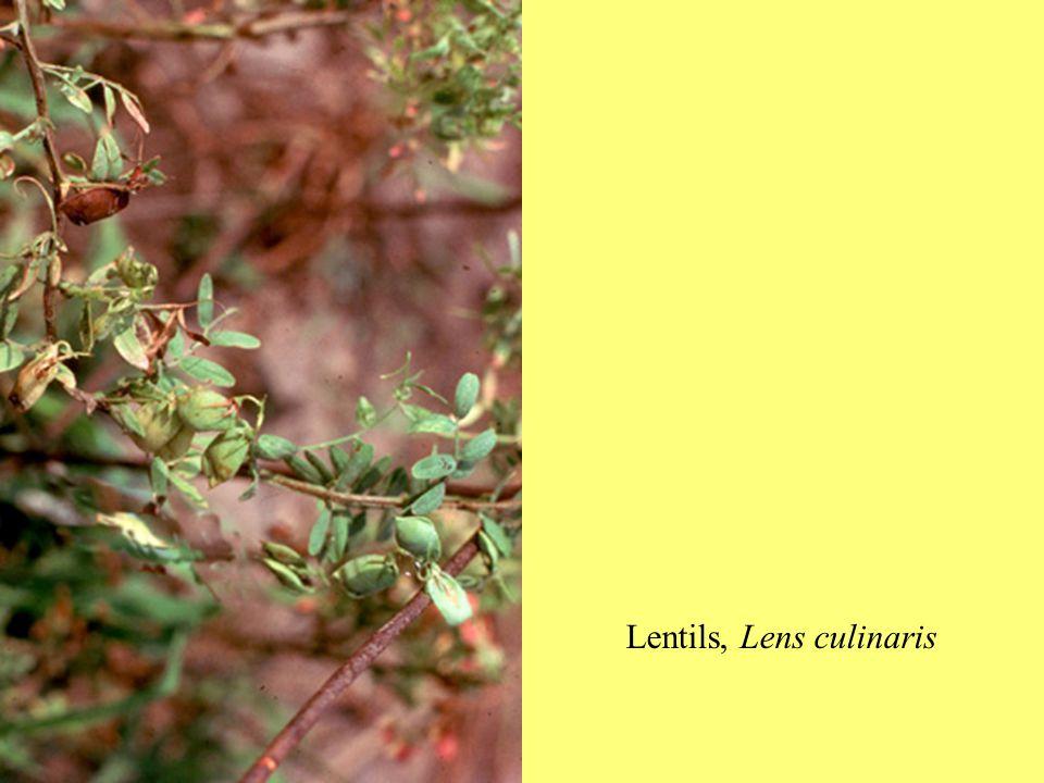 Lentils, Lens culinaris