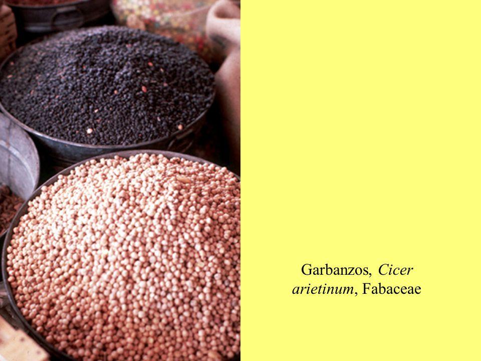Garbanzos, Cicer arietinum, Fabaceae