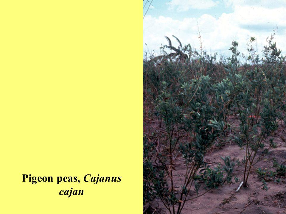 Pigeon peas, Cajanus cajan