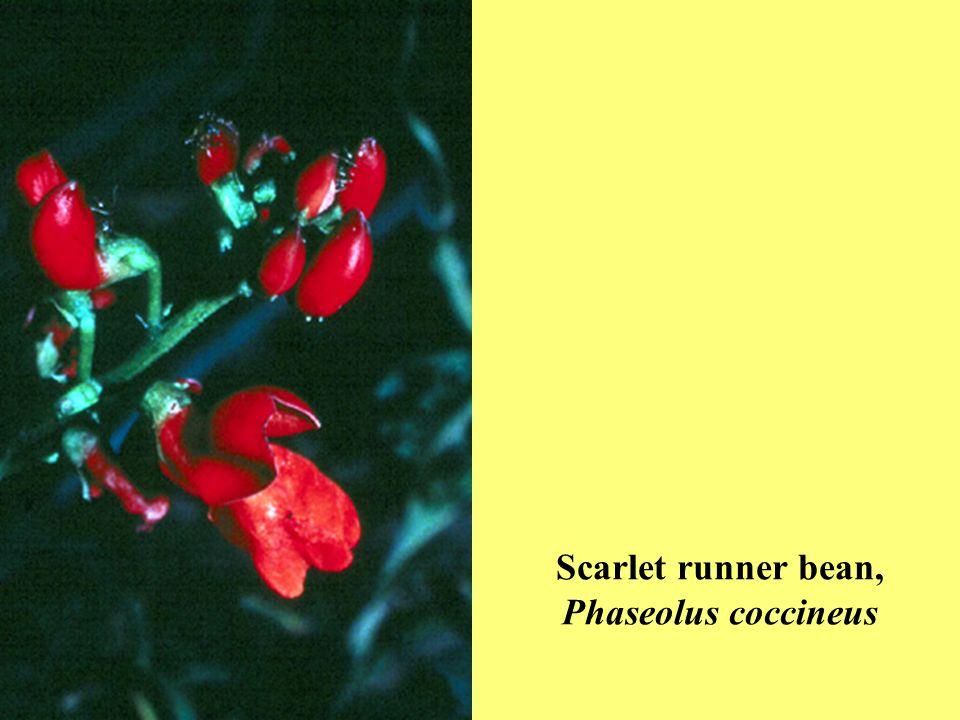 Scarlet runner bean, Phaseolus coccineus