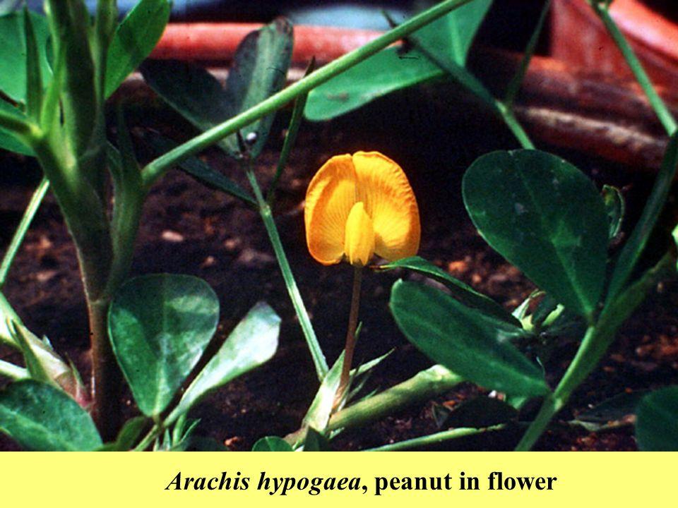 Arachis hypogaea, peanut in flower