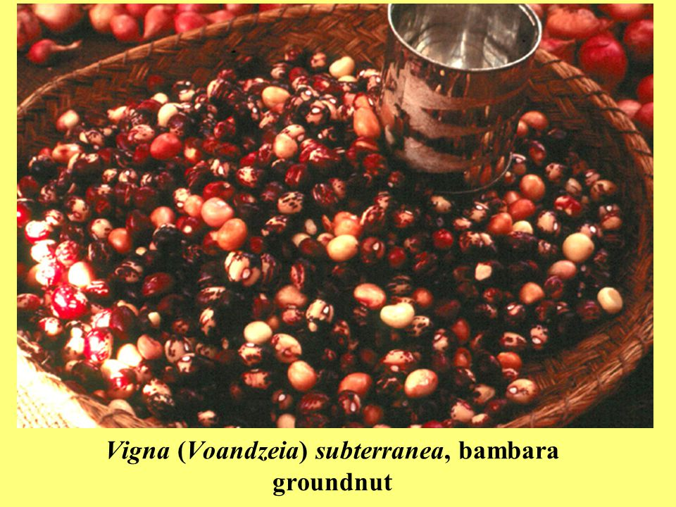 Vigna (Voandzeia) subterranea, bambara groundnut