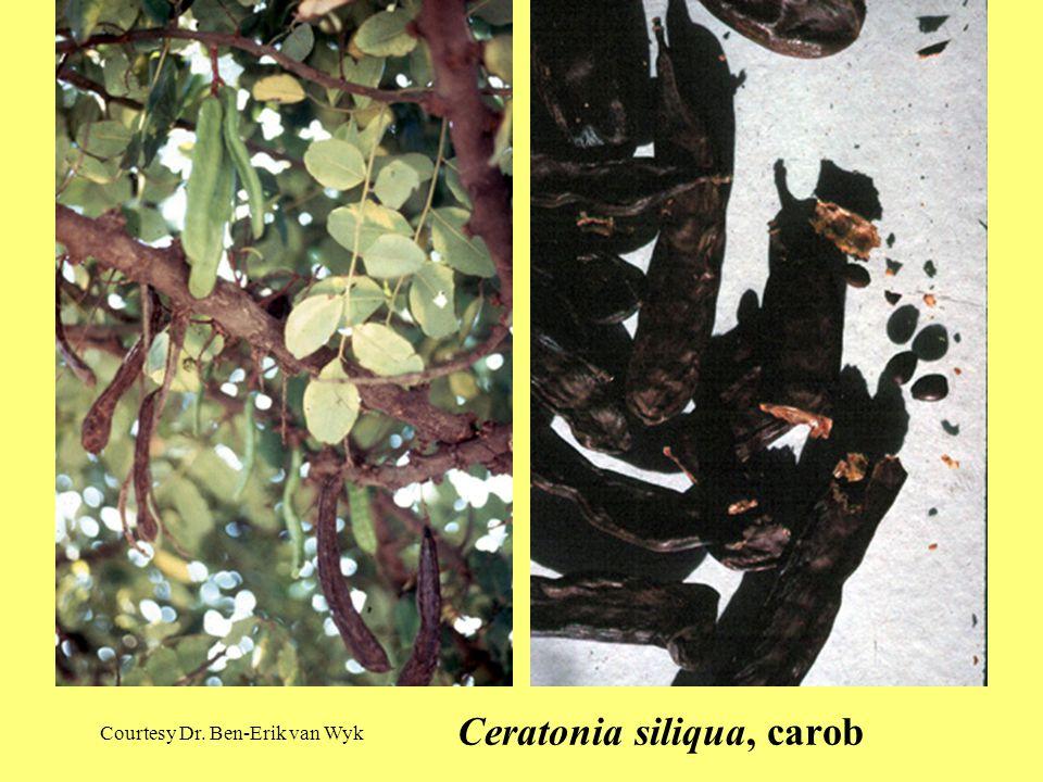 Ceratonia siliqua, carob Courtesy Dr. Ben-Erik van Wyk