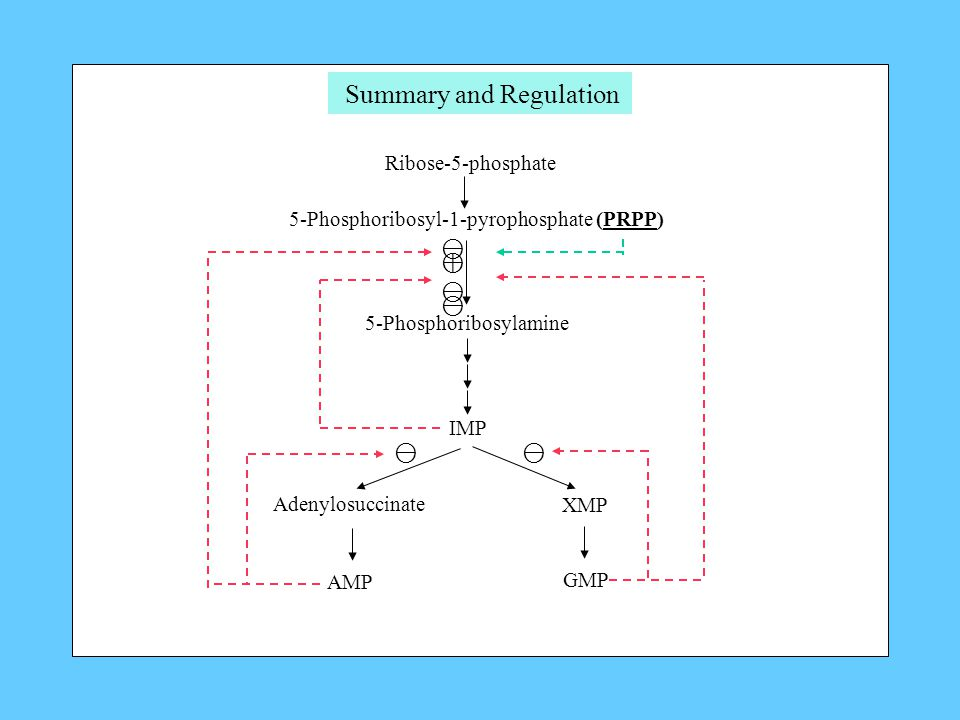 Ribose-5-phosphate 5-Phosphoribosyl-1-pyrophosphate (PRPP) ⊖⊕⊖⊖⊖⊕⊖⊖⊖ 5-Phosphoribosylamine IMP Adenylosuccinate XMP AMP GMP ⊖⊖ Summary and Regulation