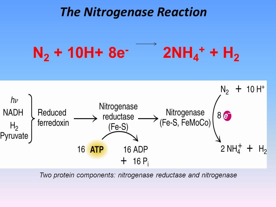The Nitrogenase Reaction N 2 + 10H+ 8e - 2NH 4 + + H 2 Two protein components: nitrogenase reductase and nitrogenase