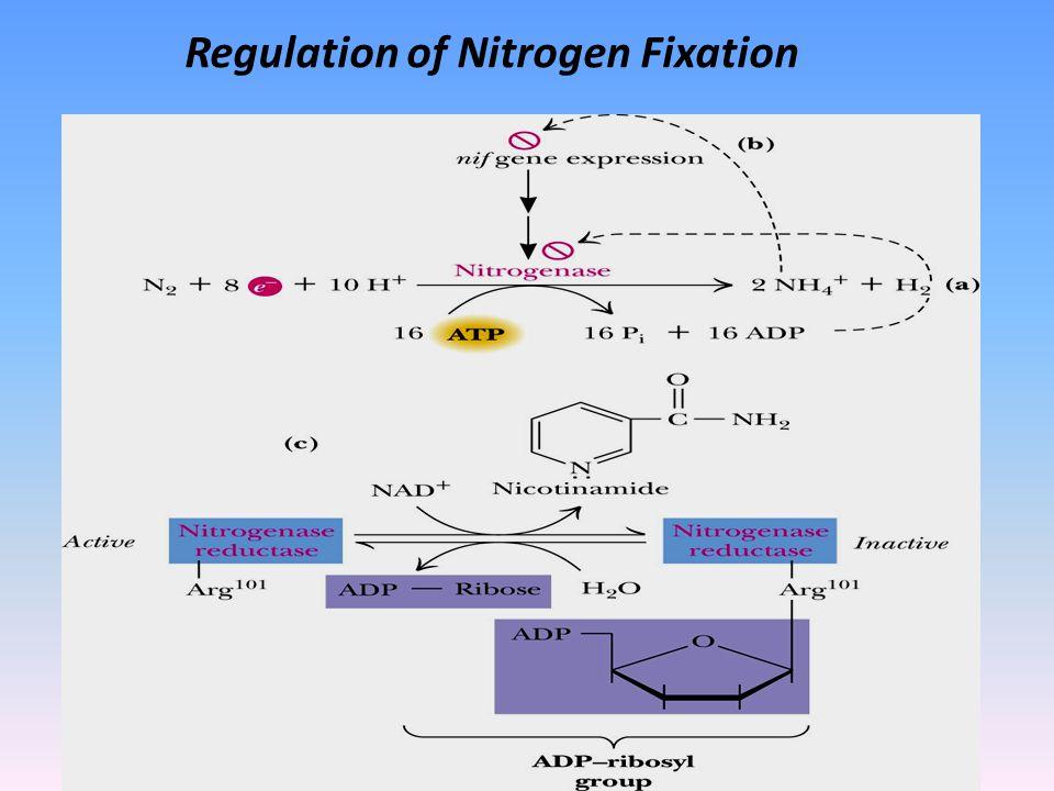 Regulation of Nitrogen Fixation