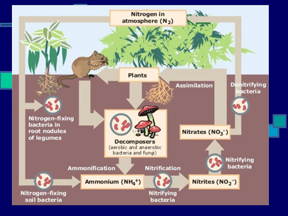 Nitrogen Cycle 5 major processes: Fixation converting atmospheric nitrogen into soluble nitrate rhizobium bacteria (free or in nodules), lightning Ass