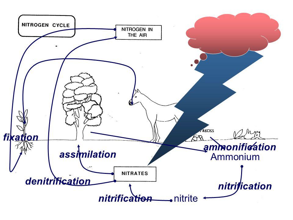 Nitrogen Cycle Ammonium nitrite nitrification denitrification fixation assimilation ammonification