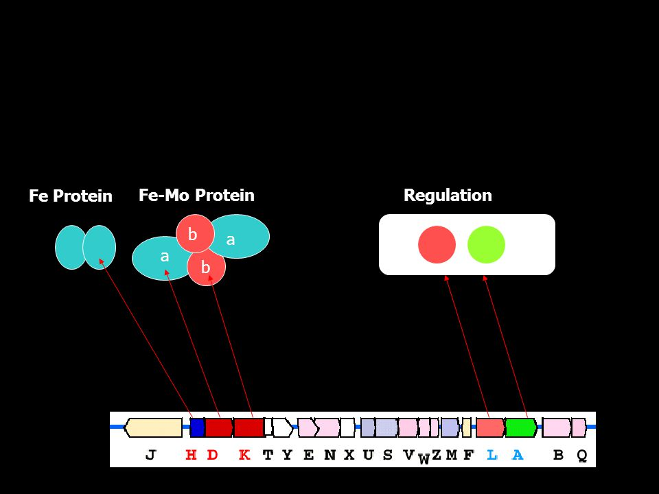 b a a b Fe Protein Fe-Mo ProteinRegulation