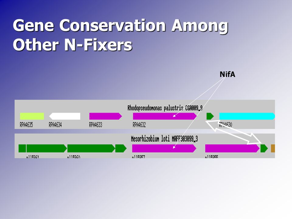Gene Conservation Among Other N-Fixers NifA