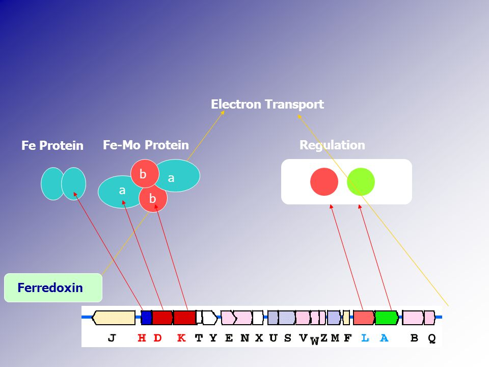 b a a b Fe Protein Fe-Mo ProteinRegulation Electron Transport Ferredoxin