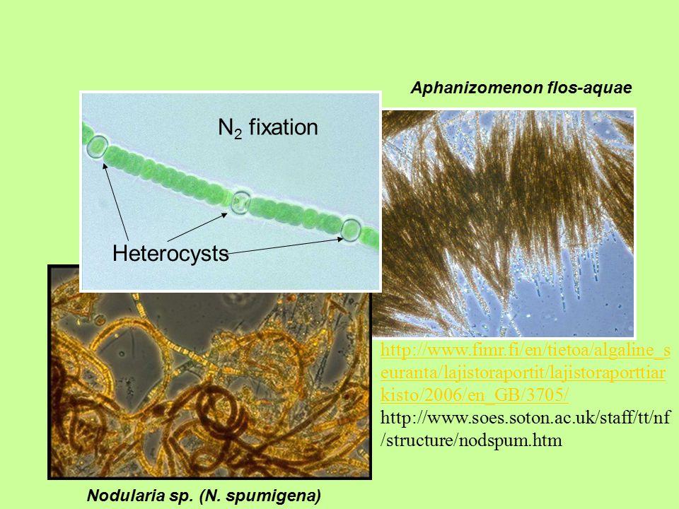 Aphanizomenon flos-aquae Nodularia sp. (N.