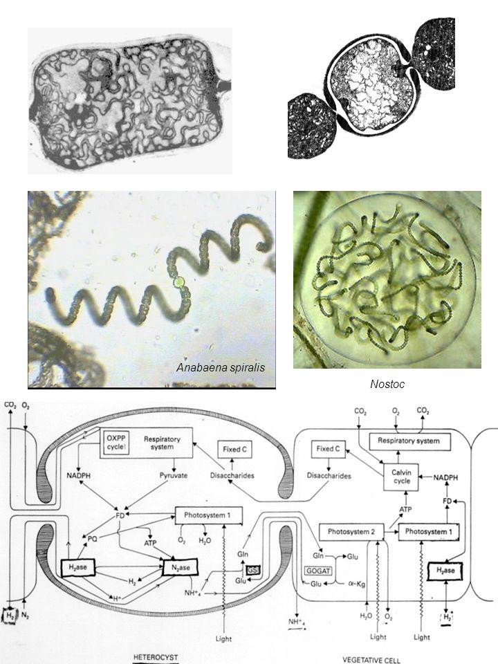 Anabaena spiralis Nostoc