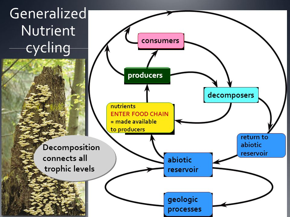 consumers decomposers abiotic reservoir nutrients made available to producers geologic processes Generalized Nutrient cycling consumers producers decomposers abiotic reservoir nutrients ENTER FOOD CHAIN = made available to producers geologic processes Decomposition connects all trophic levels return to abiotic reservoir