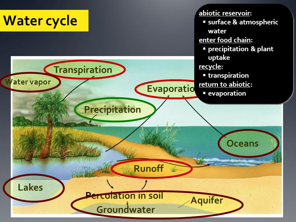 Lakes Runoff Percolation in soil Evaporation Transpiration Precipitation Oceans Solar energy Aquifer Groundwater Water cycle Water vapor abiotic reservoir:  surface & atmospheric water enter food chain:  precipitation & plant uptake recycle:  transpiration return to abiotic:  evaporation & runoff abiotic reservoir:  surface & atmospheric water enter food chain:  precipitation & plant uptake recycle:  transpiration return to abiotic:  evaporation & runoff