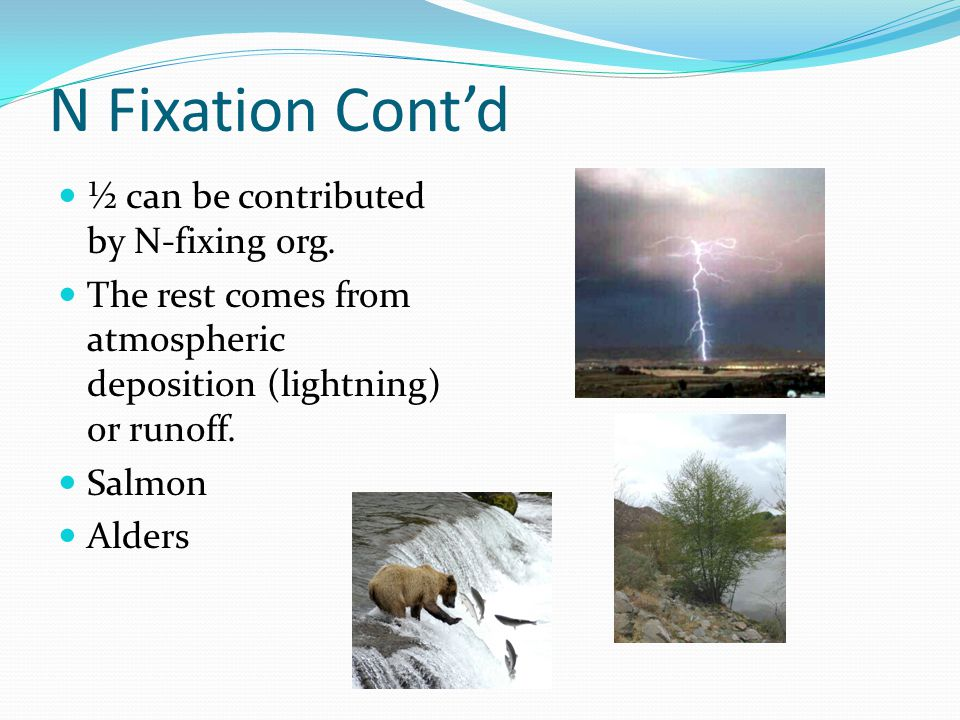N Fixation Cont'd ½ can be contributed by N-fixing org. The rest comes from atmospheric deposition (lightning) or runoff. Salmon Alders