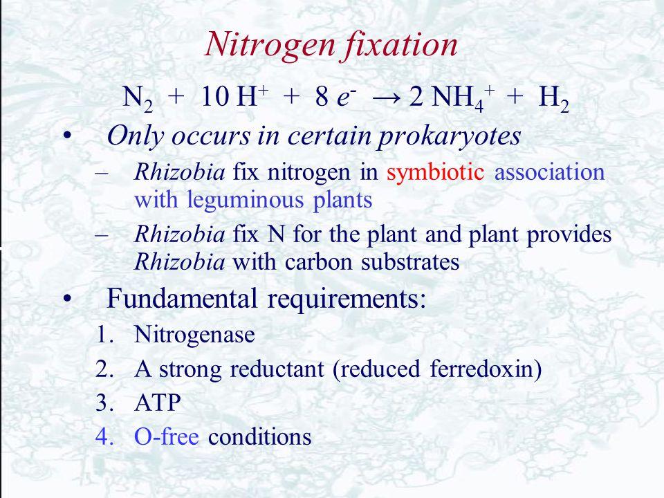 Nitrogen fixation N 2 + 10 H + + 8 e - → 2 NH 4 + + H 2 Only occurs in certain prokaryotes –Rhizobia fix nitrogen in symbiotic association with legumi