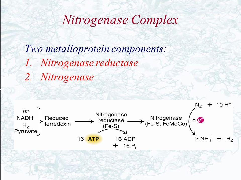 Nitrogenase Complex Two metalloprotein components: 1.Nitrogenase reductase 2.Nitrogenase