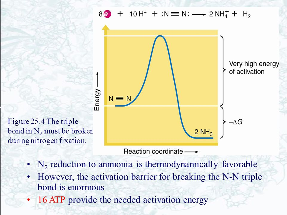 Figure 25.4 The triple bond in N 2 must be broken during nitrogen fixation. N 2 reduction to ammonia is thermodynamically favorable However, the activ