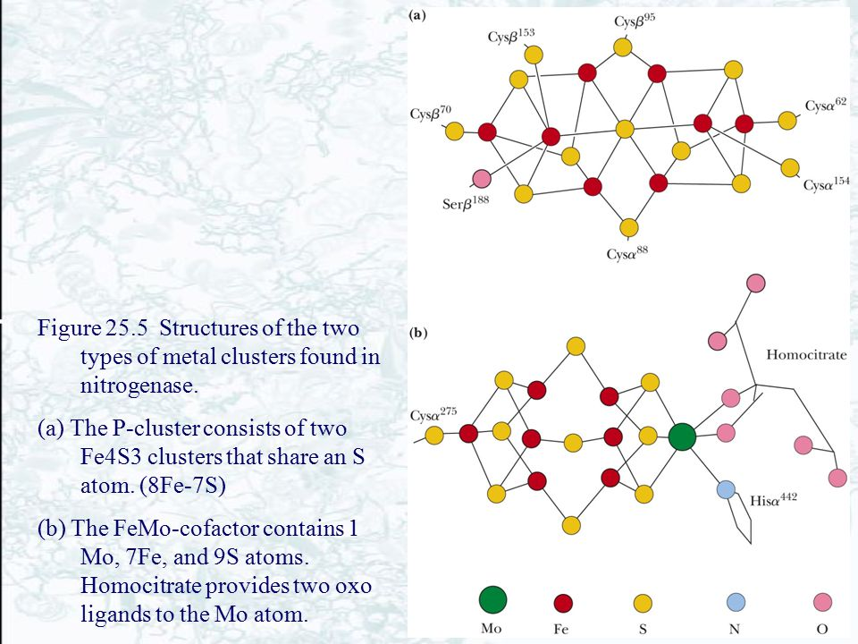Figure 25.5 Structures of the two types of metal clusters found in nitrogenase. (a) The P-cluster consists of two Fe4S3 clusters that share an S atom.