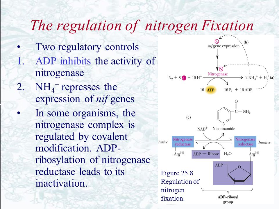 The regulation of nitrogen Fixation Two regulatory controls 1.ADP inhibits the activity of nitrogenase 2.NH 4 + represses the expression of nif genes