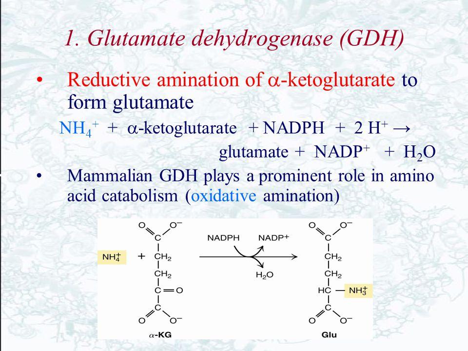1. Glutamate dehydrogenase (GDH) Reductive amination of  -ketoglutarate to form glutamate NH 4 + +  -ketoglutarate + NADPH + 2 H + → glutamate + NAD