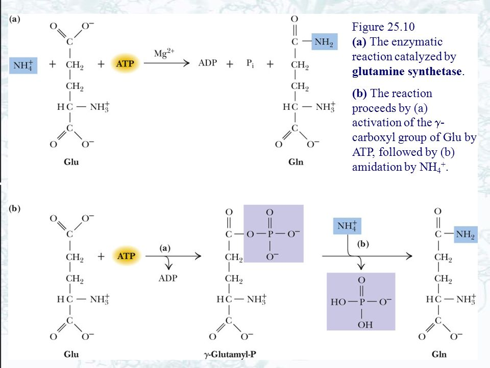 Figure 25.10 (a) The enzymatic reaction catalyzed by glutamine synthetase. (b) The reaction proceeds by (a) activation of the  - carboxyl group of Gl