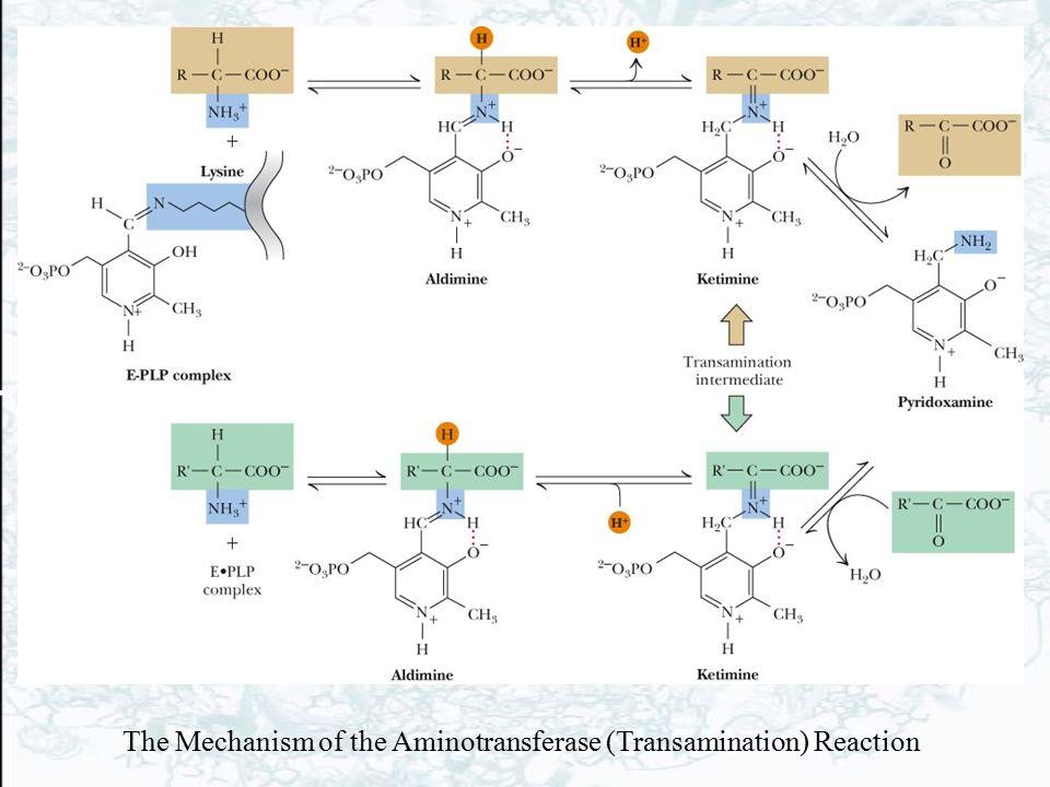 The Mechanism of the Aminotransferase (Transamination) Reaction