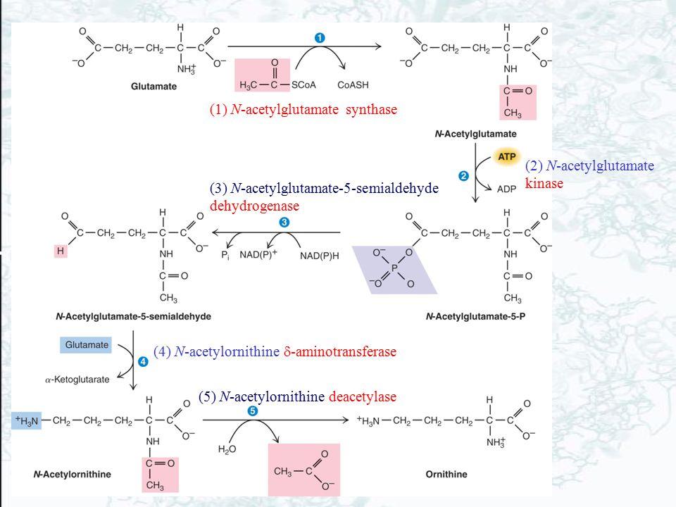 (1) N-acetylglutamate synthase (5) N-acetylornithine deacetylase (4) N-acetylornithine  -aminotransferase (3) N-acetylglutamate-5-semialdehyde dehydr
