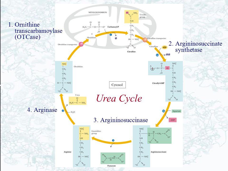 1.Ornithine transcarbamoylase (OTCase) 2.Argininosuccinate synthetase 3.Argininosuccinase 4.Arginase Urea Cycle