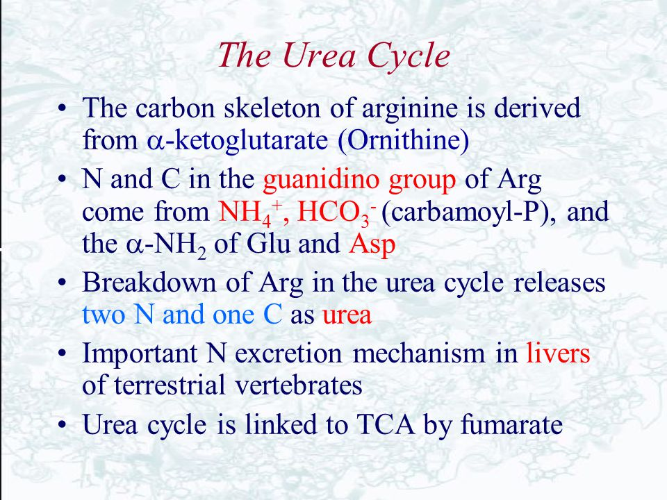 The Urea Cycle The carbon skeleton of arginine is derived from  -ketoglutarate (Ornithine) N and C in the guanidino group of Arg come from NH 4 +, HC