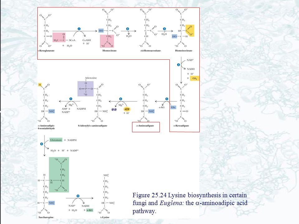 Figure 25.24 Lysine biosynthesis in certain fungi and Euglena: the  -aminoadipic acid pathway.