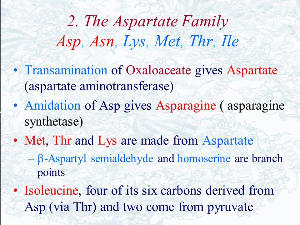 2. The Aspartate Family Asp, Asn, Lys, Met, Thr, Ile Transamination of Oxaloaceate gives Aspartate (aspartate aminotransferase) Amidation of Asp gives