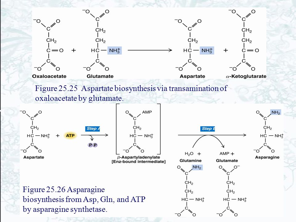 Figure 25.25 Aspartate biosynthesis via transamination of oxaloacetate by glutamate. Figure 25.26 Asparagine biosynthesis from Asp, Gln, and ATP by as