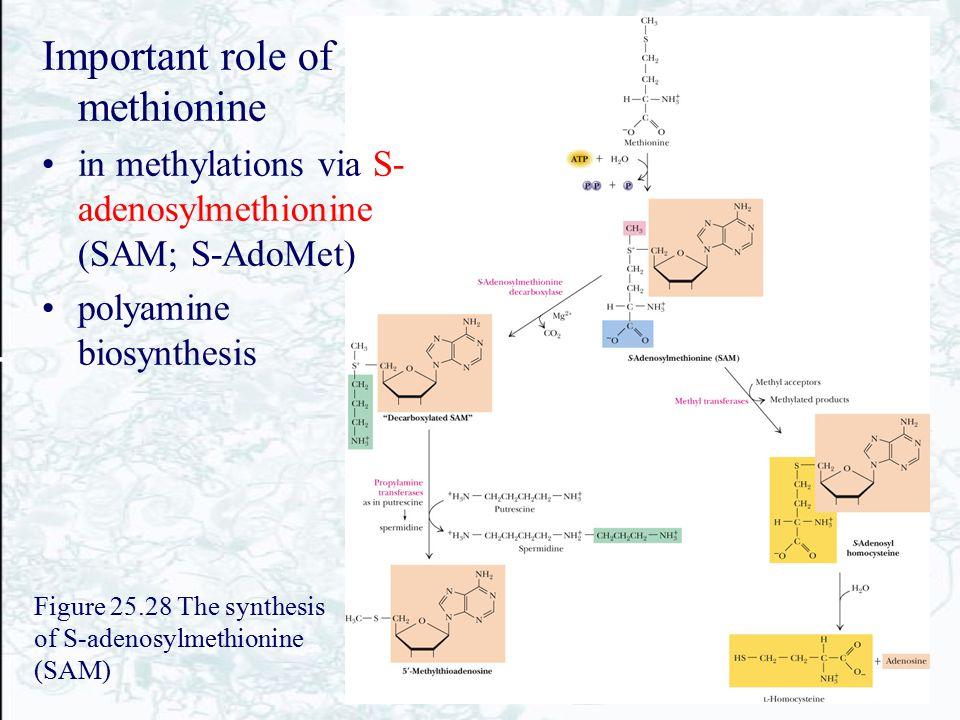Figure 25.28 The synthesis of S-adenosylmethionine (SAM) Important role of methionine in methylations via S- adenosylmethionine (SAM; S-AdoMet) polyam