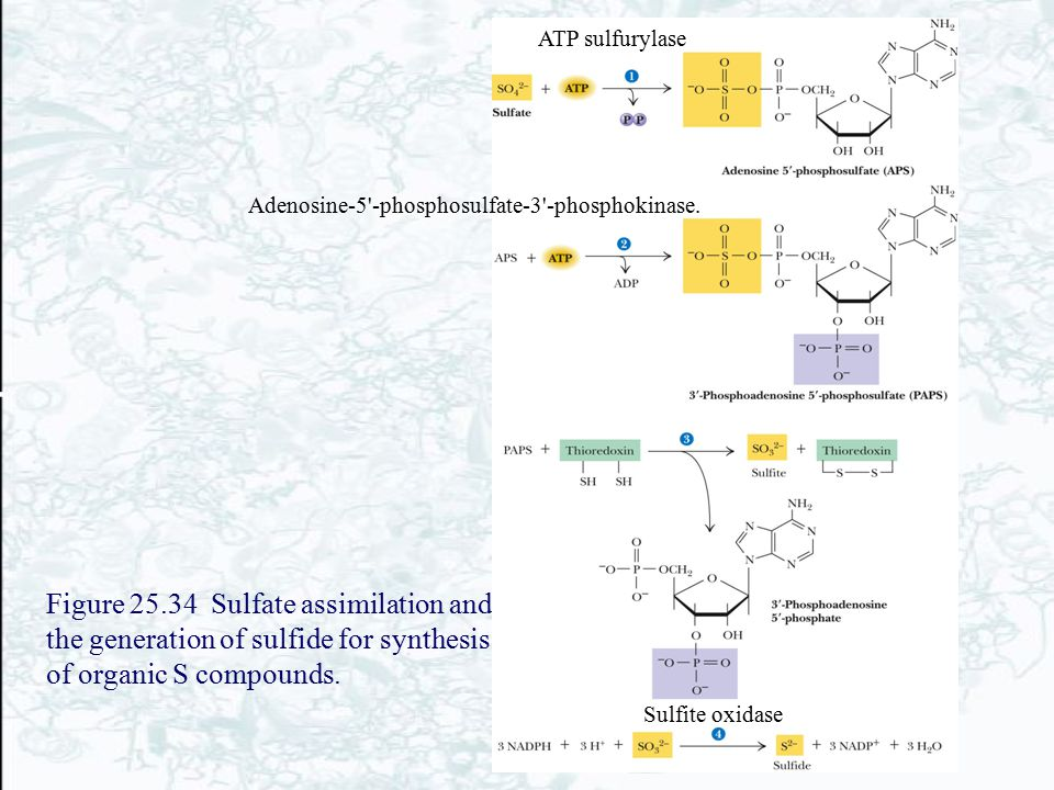 Figure 25.34 Sulfate assimilation and the generation of sulfide for synthesis of organic S compounds. ATP sulfurylase Adenosine-5'-phosphosulfate-3'-p