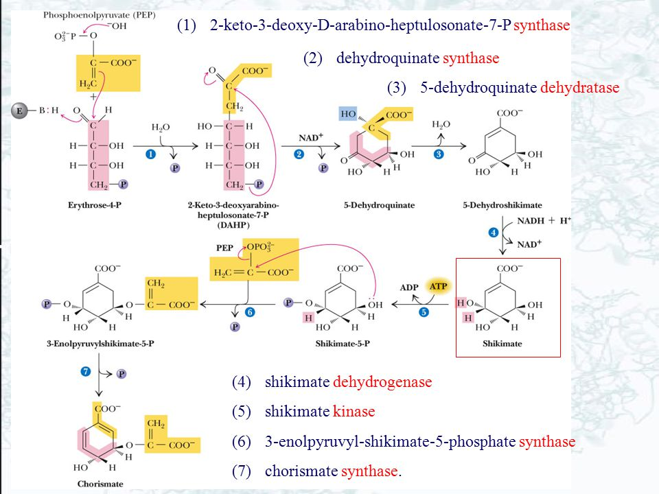 (1)2-keto-3-deoxy-D-arabino-heptulosonate-7-P synthase (4)shikimate dehydrogenase (5)shikimate kinase (6)3-enolpyruvyl-shikimate-5-phosphate synthase