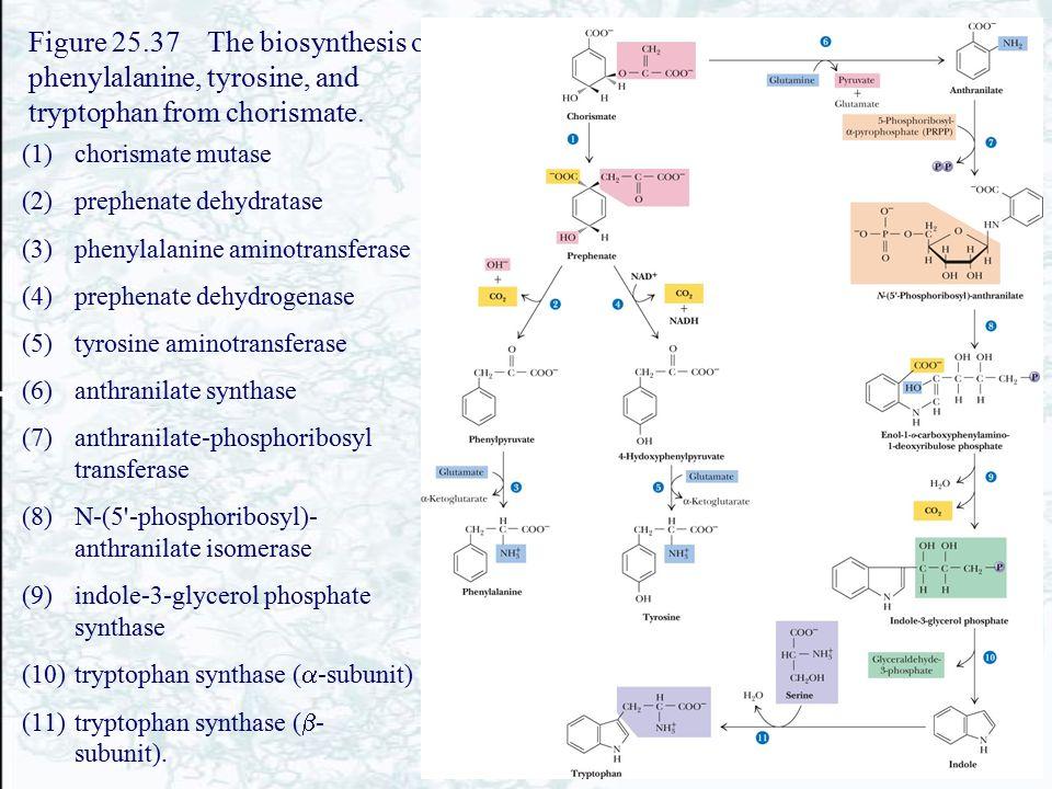 Figure 25.37 The biosynthesis of phenylalanine, tyrosine, and tryptophan from chorismate. (1)chorismate mutase (2)prephenate dehydratase (3)phenylalan
