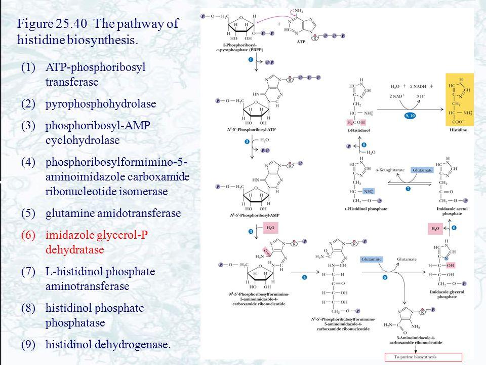 Figure 25.40 The pathway of histidine biosynthesis. (1)ATP-phosphoribosyl transferase (2)pyrophosphohydrolase (3)phosphoribosyl-AMP cyclohydrolase (4)