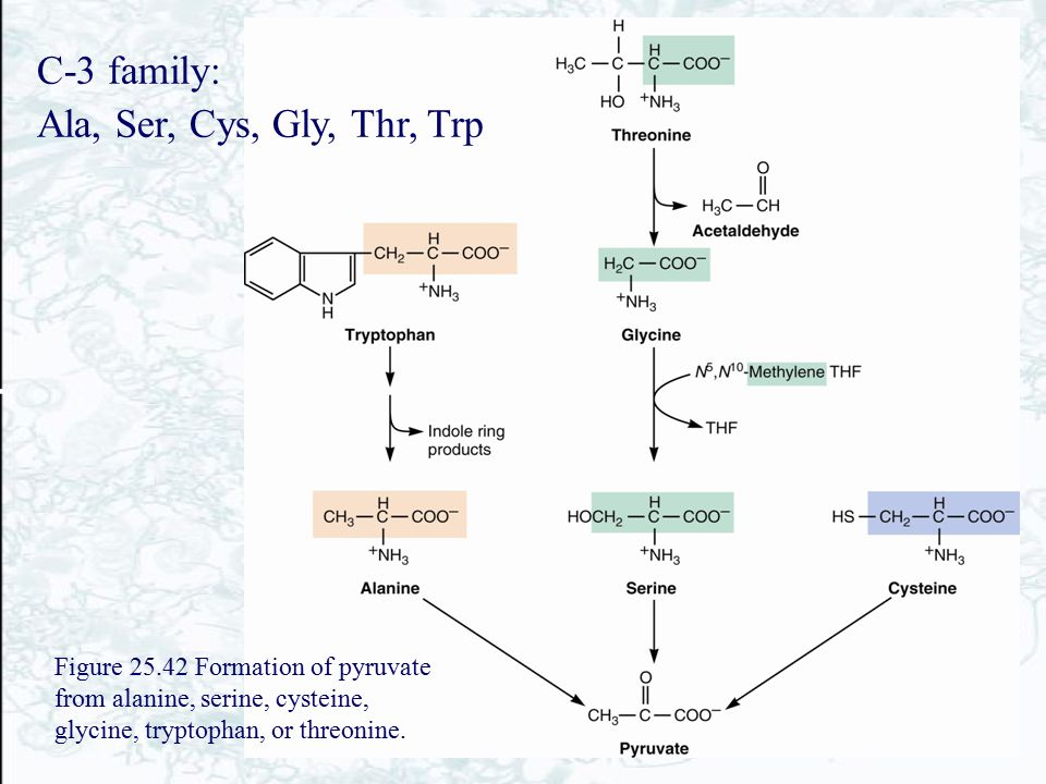 C-3 family: Ala, Ser, Cys, Gly, Thr, Trp Figure 25.42 Formation of pyruvate from alanine, serine, cysteine, glycine, tryptophan, or threonine.