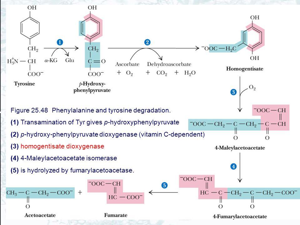Figure 25.48 Phenylalanine and tyrosine degradation. (1) Transamination of Tyr gives p-hydroxyphenylpyruvate (2) p-hydroxy-phenylpyruvate dioxygenase