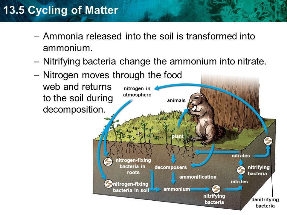 13.5 Cycling of Matter –Ammonia released into the soil is transformed into ammonium.