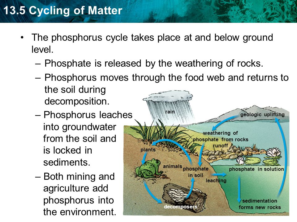 13.5 Cycling of Matter geologic uplifting rain weathering of phosphate from rocks runoff sedimentation forms new rocks leaching phosphate in solution animals plants decomposers phosphate in soil The phosphorus cycle takes place at and below ground level.