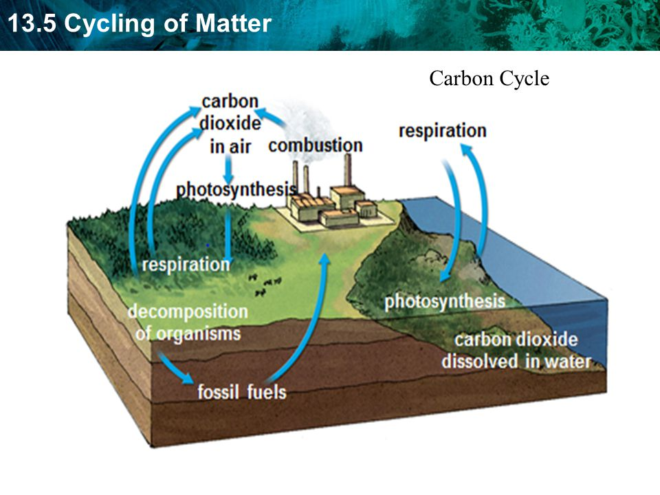 13.5 Cycling of Matter Carbon Cycle