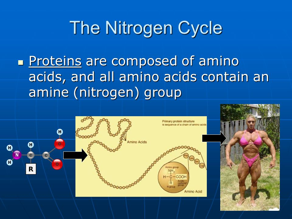 The Nitrogen Cycle Proteins are composed of amino acids, and all amino acids contain an amine (nitrogen) group Proteins are composed of amino acids, a