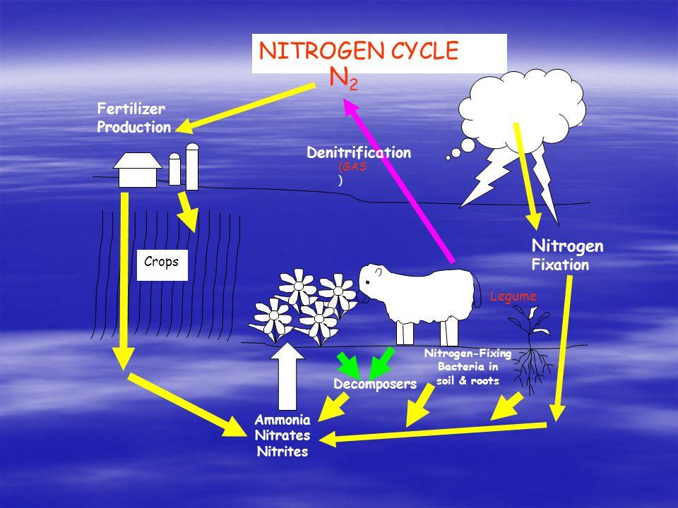 NITROGEN CYCLE N2N2 Crops Fertilizer Production Lightning Legume Nitrogen-Fixing Bacteria in soil & roots Nitrogen Fixation Ammonia Nitrates Nitrites