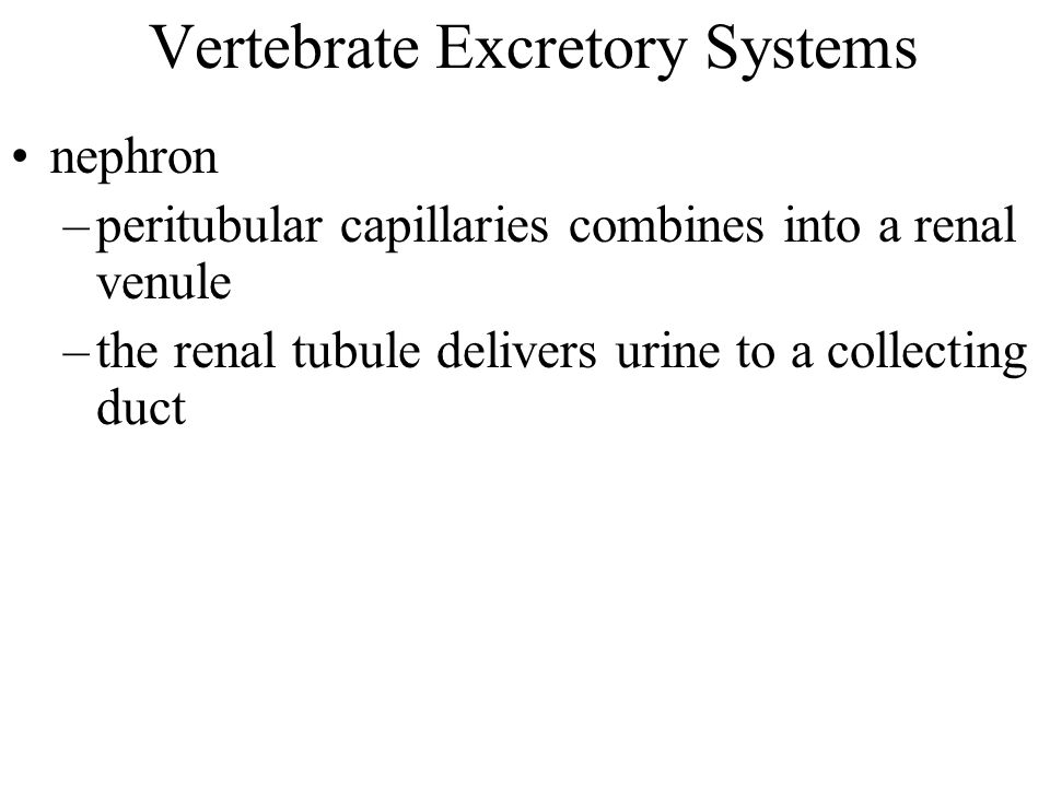 Vertebrate Excretory Systems nephron –peritubular capillaries combines into a renal venule –the renal tubule delivers urine to a collecting duct