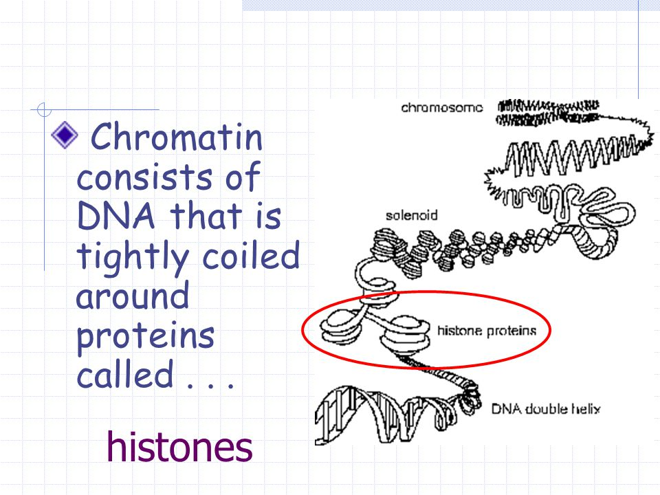 histones Chromatin consists of DNA that is tightly coiled around proteins called...